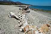 Grey whale skeleton