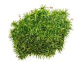 Common haircap moss (Polytrichum commune), illustration