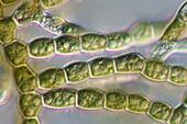 Audouinella sp. red algae, light micrograph
