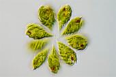 Monomorphina sp. algae, light micrograph