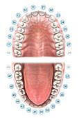 FDI dental notation, illustration