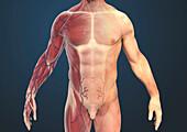 Male torso muscles, illustration