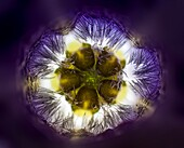Vinca minor flower, LM