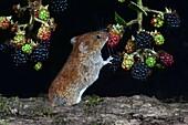 Bank vole eating blackberries
