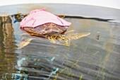 Rescued sea turtle