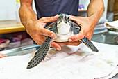Examining rescued sea turtle