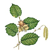 Hazel (Corylus avellana) leaves, illustration
