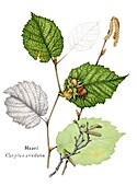 Hazel (Corylus avellana), illustration