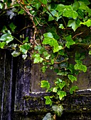 Ivy covering an old window