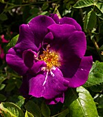 Rose (Rosa 'Passion For Purple')