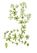 Hedge bedstraw (Galium mollugo) with leaf, illustration
