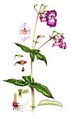 Himalayan balsam (Impatiens glandulifera), illustration