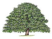 Horse chestnut (Aesculus hippocastanum) tree, illustration