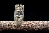 Twig-legged orb-weaver spider