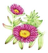 Hottentot fig (Carpobrotus edulis), illustration