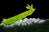 Zombie caterpillar guarding wasp cocoon