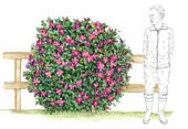 Japanese rose (Rosa rugosa) shrub, illustration