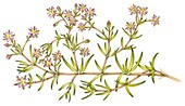 Lesser sea spurrey (Spergularia marina), illustration