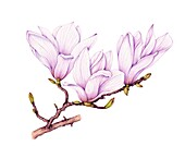 Southern magnolia (Magnolia grandiflora) sprig, illustration