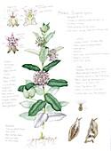 Common milkweed (Asclepias syriaca), illustration