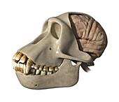 Skull and brain of a chimpanzee, illustration