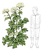 Persian hogweed (Heracleum persicum), illustration