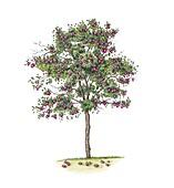 Plum (Prunus domestica) tree, illustration