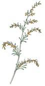 Sea wormwood (Artemisia maritima), illustration