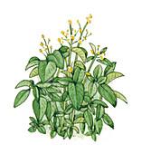 Small balsam (Impatiens parviflora), illustration