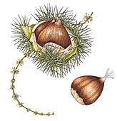Sweet chestnut (Castanea sativa), illustration