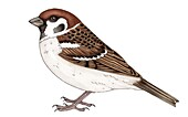 Tree sparrow (Passer montanus), illustration