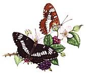 White admiral butterflies (Limenitis camilla), illustration