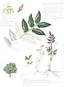 Tree of Heaven (Ailanthus altissima), illustration