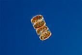 Thalassiosira sp. diatom, light micrograph