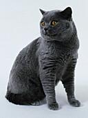 British blue shorthair cat