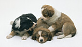 Group of puppies lying together