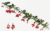 Barberry (Berberis vulgaris) branch and berries