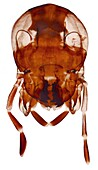 Cockroach's head, LM
