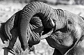 African elephants with trunks entwined