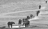 African elephants approaching a waterhole