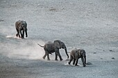 African elephants being playful