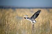 Black-headed heron taking off