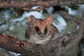 Black-tailed tree rat sunning at dusk