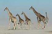 Herd of giraffes in a dust storm