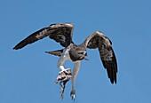 Martial eagle with prey