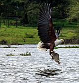 African fish eagle hunting, Lake Naivasha, Kenya