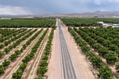 Pecan trees in New Mexico, USA