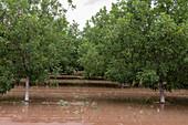 Pecan trees in New Mexico desert, USA