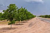 Pecan Trees in New Mexico Desert