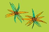 Tongue fern (Pyrrosia lingua) hair, light micrograph